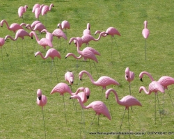 Flamingos-for-Celebrations-at-Currambine-Primary-School 9